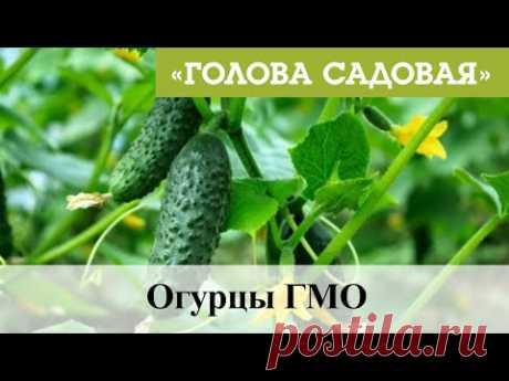 Голова садовая - Огурцы ГМО