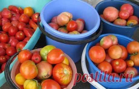 ХОТИТЕ ПОЛУЧАТЬ ПО 2 ВЕДРА ТОМАТОВ С КУСТА?  МОИ СЕКРЕТЫ: Люблю высокорослые сорта томатов. Я сажаю по 2 растения, выравнивая верхушки, соединив стебли вместе. Они друг друга поддерживают. Показать полностью…