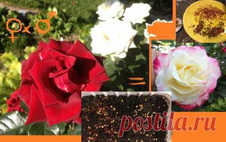 Как из красной и белой розы получить двухцветную? Скрещивание и размножение роз семенами - это не шутки | Есть время под солнцем | Яндекс Дзен