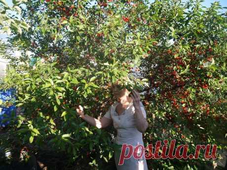Мой любимый сорт вишни. Спеет в середине июня вместе с клубникой. Ну очень сладкая | Куклы Марины Еремеевой | Яндекс Дзен