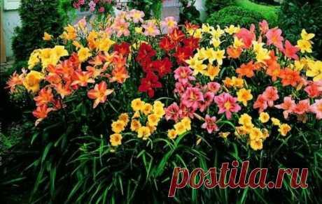 Лилейники: добиваемся пышного цветения | Наталья Кудрявцева | Яндекс Дзен