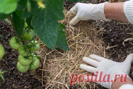 Чем опрыскать томаты от фитофторы? Народные средства, фунгициды и биопрепараты. Фото — Ботаничка.ru
