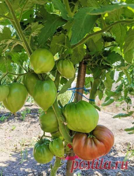 Этот низкорослый томат должен расти у каждого огородника в сезоне 2022.   Огородник из Рязани   Яндекс Дзен