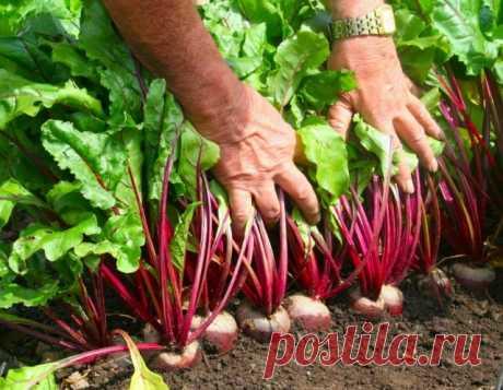 Как получить хороший урожай свёклы  Столовая свёкла – довольно распространенная овощная культура на наших грядках. Но все чаще огородники жалуются на селекционеров, заявляя, что сорта свёклы потеряли свои качества. Корнеплоды стали дер…