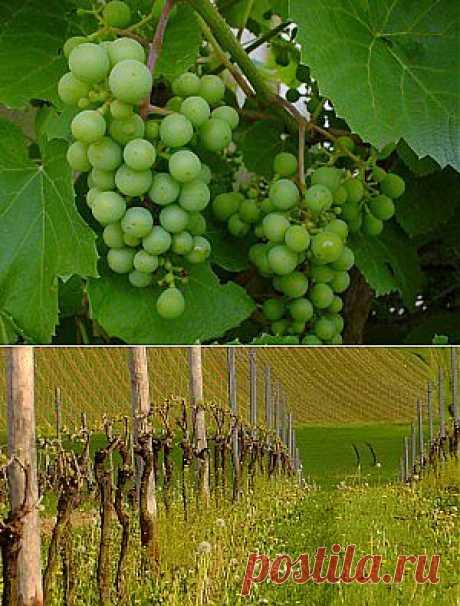 Весенняя обрезка винограда: подробная инструкция Щедрая земля