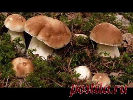 (82) Как вырастить много белых грибов на своем участке - YouTube