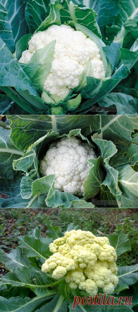 Как правильно подкармливать цветную капусту?