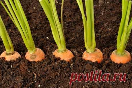 Как увеличить всхожесть семян моркови  Многие огородники жалуются на плохую всхожесть семян моркови. Я тоже раньше не могла подстроиться под эту культуру и всегда испытывала трудности после ее посадки. Мало того что всходов приходилось жд…
