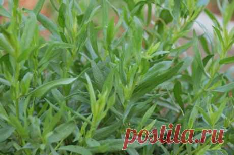 Трава тархун. Применение и полезные свойства эстрагона. | Рецепты полезных и вкусных блюд в домашних условиях