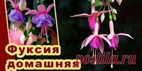 Как вырастить фуксию дома и правильно ухаживать за растением - посадка, полив и размножение