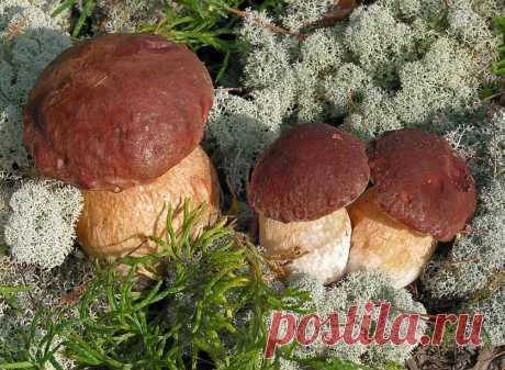 Грядка с боровиками на даче  В последние годы в связи с неблагоприятными природными условиями урожайность естественных плантаций губчатых, и прежде всего белых грибов, резко сократилась. Поэтому предлагаем Вам развести боровики …