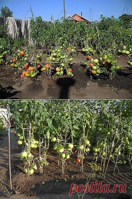 Дача ВИКТОРиЯ: Опыт выращивания помидоров - секреты хорошего урожая.