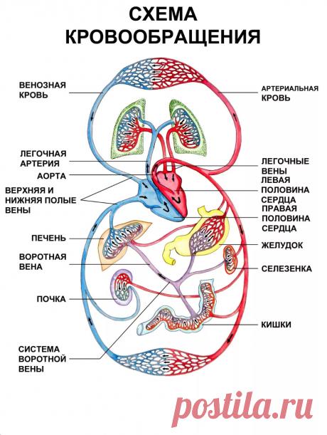 СХЕМА КРОВООБРАЩЕНИЯ-Биология