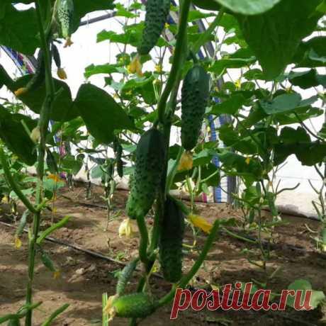 Сорт огурцов Маша, описание, характеристика и отзывы, а также особенности выращивания