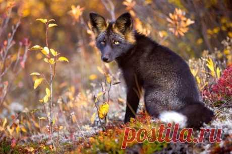 Черно-бурая лисица - редкое и красивое животное