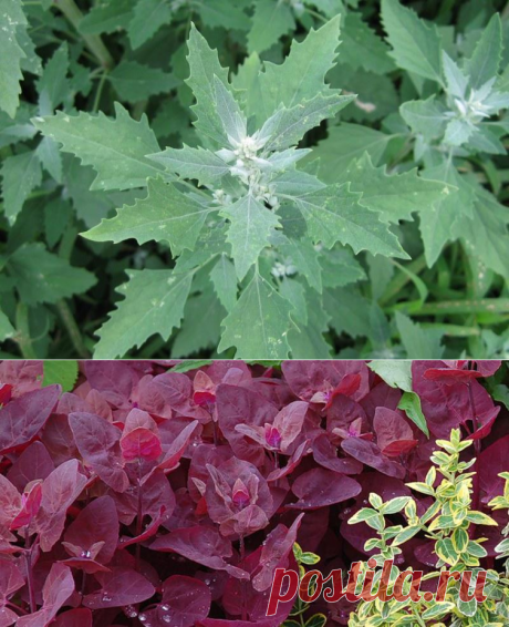 The orach - unless it is trouble? Familiar strangers on a kitchen garden