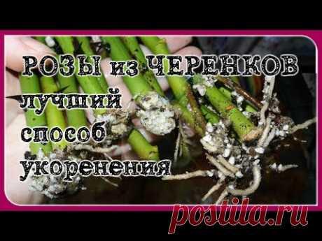 РАБОТАЕТ на 100%! Укоренение черенков роз. САМЫЙ ЛУЧШИЙ СПОСОБ!