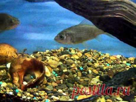 Караси в аквариуме - YouTube