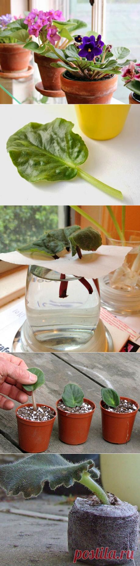 Фиалки - размножение листом, как посадить и вырастить, грунт, видео
