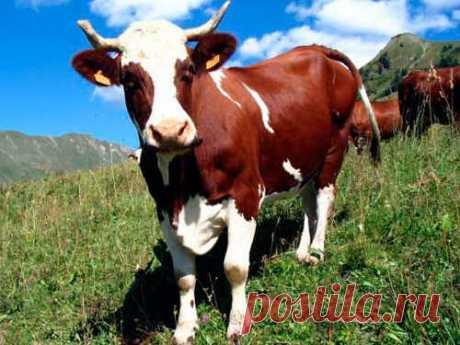 Кчему снится корова Довольно часто во сне люди видят домашнюю Буренку. Мнения сонников на ее счет разделились: кто-то считает, что корова восне приносит удачу, акто-то верит вабсолютно противоположное.