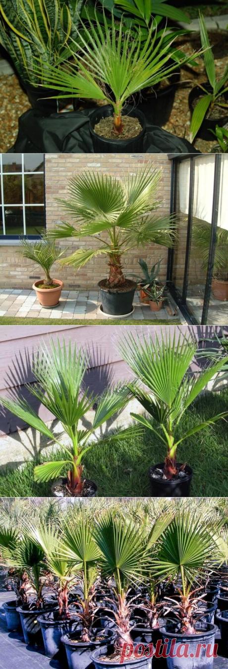 Пальма вашингтония уход в домашних условиях | В темпі життя