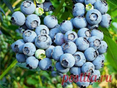Blueberry landing and leaving. How to plant blueberry it is correct and as it to grow up. | Beautiful House and Garden