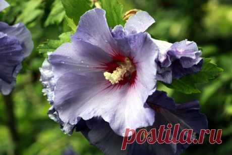 Уход за гибискусом в домашних условиях и уход за розой