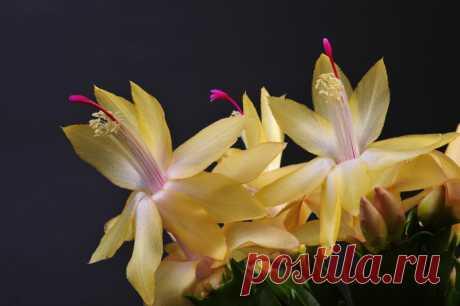 Почему не цветет декабрист? Настоящее название этого цветка - шлюмбергера. А мы попросту зовем его декабрист или рождественский кактус, так как его цветение приходится на зимние месяцы. Сейчас выведено огромное количество сортов декабриста с самыми невероятными расцветками...