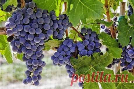 Как сделать вино из винограда? Очень простой рецепт для начинающих виноделов |