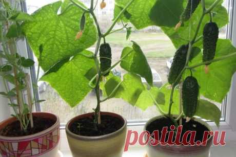 How to grow up cucumbers on a window sill