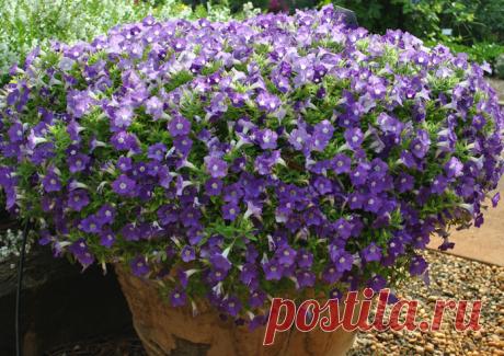 Выращивание калибрахоа: водопад цветов на даче