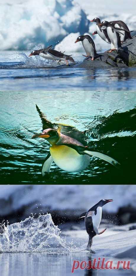 Папуанские пингвины : НОВОСТИ В ФОТОГРАФИЯХ
