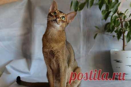 Пати-абиссинская кошка питомник BUOZI
