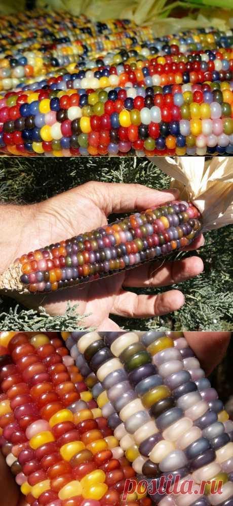 Лучшие фотографии со всего света - Цветная кукуруза - новый урожай