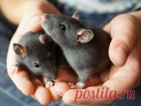 Сонник 2020года: кчему снится крыса? Крыс боятся многие, иувиденные сны сучастием этих зверьков часто пугают. Узнать отом, что может означать такого рода сновидение, можно благодаря толкователю сновидений.