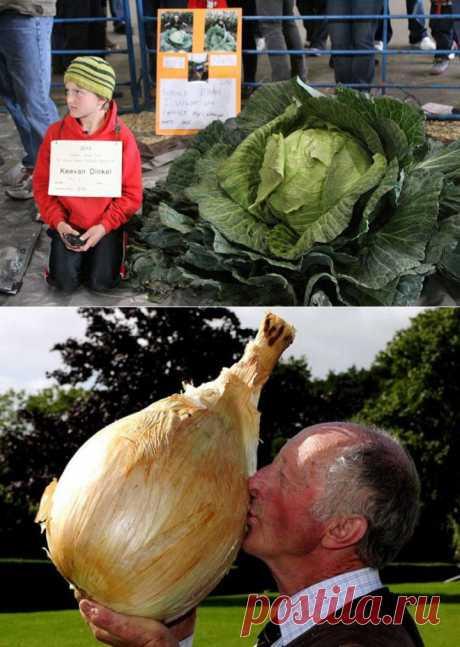 7 гигантских овощей-рекордсменов | Среда обитания