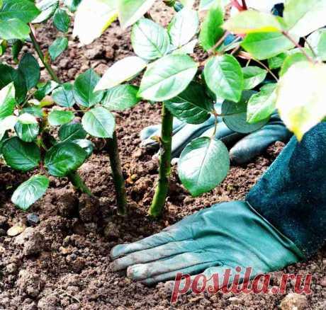 Плюсы и минусы осенней посадки роз. Практикуем или ждем до весны? | Лютики-цветочки | Яндекс Дзен