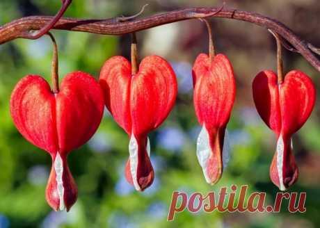 «Дицентра - уникальный и неповторный цветок.» — карточка пользователя pavlinok22 в Яндекс.Коллекциях