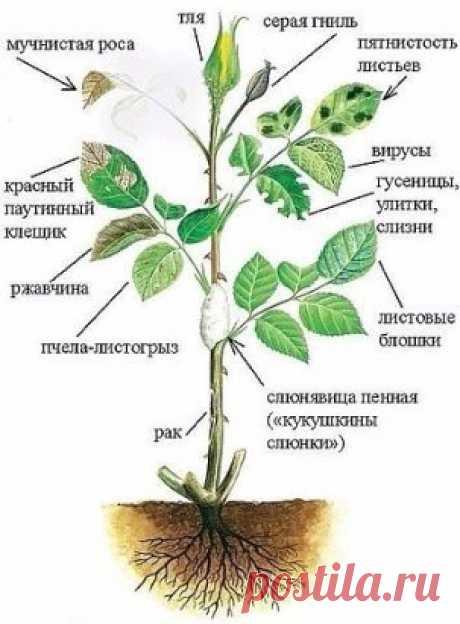 12 причин, угнетающие розу. Болезни и вредители! Каждому цветоводу хочется иметь в саду только здоровые растения . Но их желания не всегда совпадают действительностью! Не смотря на хороший уход - розы в саду часто имеют угнетённый вид. Своевременные поливы, подкормки не помогают. Розы - чахнут на глазах!  При внимательном осмотре куста розы - цветоводы замечают, что листья объедены, листья растения имеют не свойственную им окраску. После недолгих умозаключений, приходит мысль что это вредители