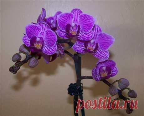 КАК РАЗМНОЖИТЬ ОРХИДЕЮ ФАЛЕНОПСИС  Размножить фаленопсис получится лишь в том случае, если она здорова, а также получает необходимые питательные вещества, достаточное количество света и влаги. Отличительной особенностью фаленопсисов является то, что этот вид орхидеи не имеет псевдобульб, отвечающих за накопление питательных веществ. И если некоторые орхидеи с псевдобульбами успешно размножаются делением корневища, то для фаленопсисов такой способ неприемлем.  Добро пожалов...