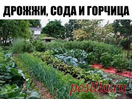 Огороду пригодится: дрожжи, сода и горчица — Socialpost