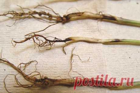 El pie negro cerca de las plantas - Sadovodka
