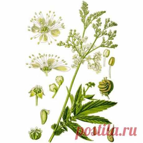 Лабазник вязолистный (таволга) (Filipendula ulmaria). Другие названия: лабазник вязолистный, медовник, белоголовник.   Многолетнее травянистое растение семейства Розоцветные (Rosaceae). Имеет ползучее деревянистое корневище с мочковатыми корнями без клубневидных утолщений.  Стебель прямостоячий ребристый, гладкий, простой или ветвистый, высотой 60-180 см.  Показать полностью…