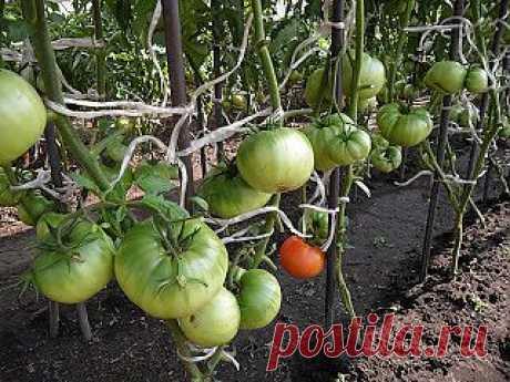 Вкусный Огород: Как вырастить помидоры в открытом грунте