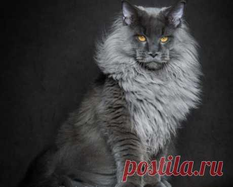 The photographer removes severe and majestic portraits of Maine Coons