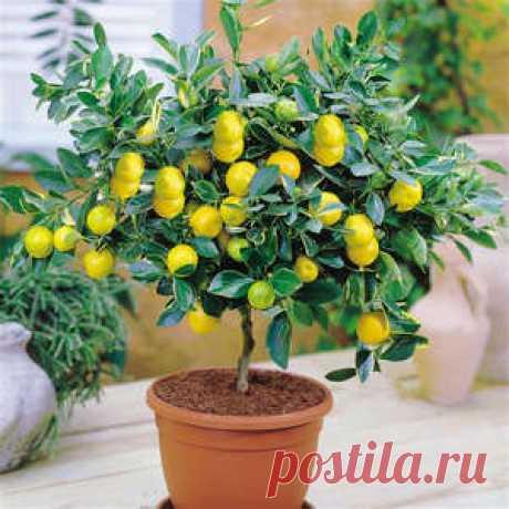 Почему у лимона опадают и желтеют листья, а также сохнут их концы?