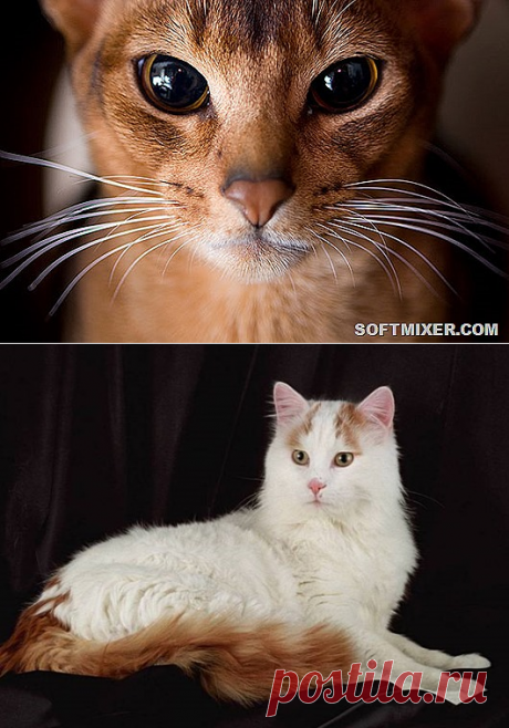 Восемь самых умных пород кошек