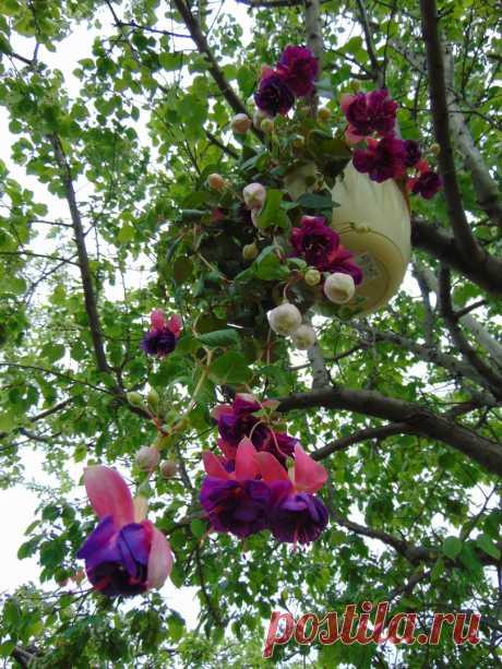 Brokwood Joy Полуампельная форма. Бутоны крупные округлые. Чашелистики белые с зелеными кончиками. Юбочка синяя с яркими бело-розовыми мазками. Цветы огромные густомахровые. Супер. Сорт-гигант.