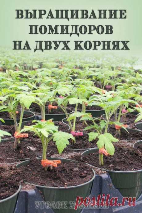 Крепкая корневая система является залогом активного роста и развития растения. Стимулировать образование придаточных корней, способствующих обеспечению дополнительным питанием, помогает особый метод, позволяющий вырастить крепкий куст помидоров на корнях двух соседних растений.