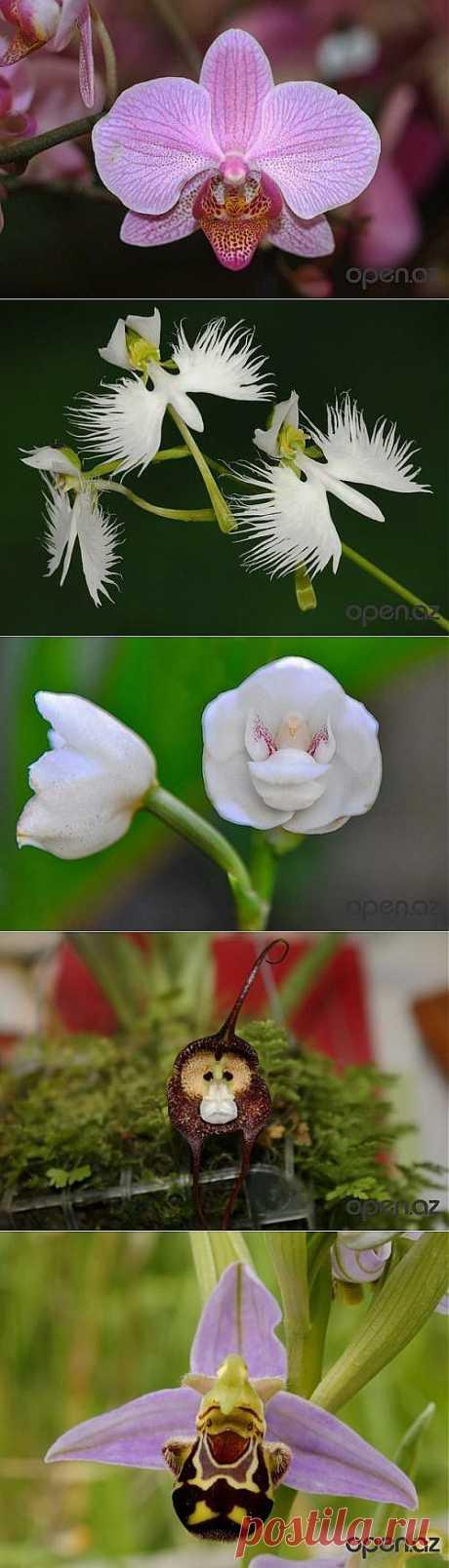 Шесть удивительных орхидей, похожих на животных » WWW.OPEN.AZ - ОТКРОЙ ДЛЯ СЕБЯ АЗЕРБАЙДЖАН!